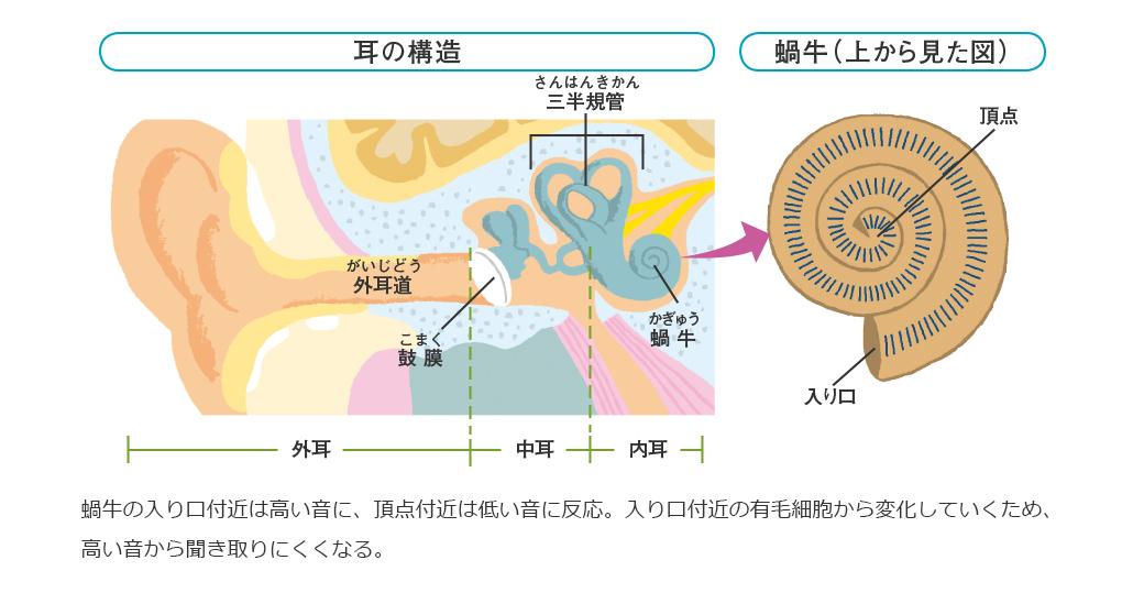 「耳 有毛細胞」の画像検索結果